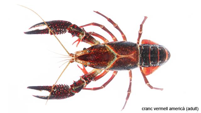 Procambarus_clarkii copy
