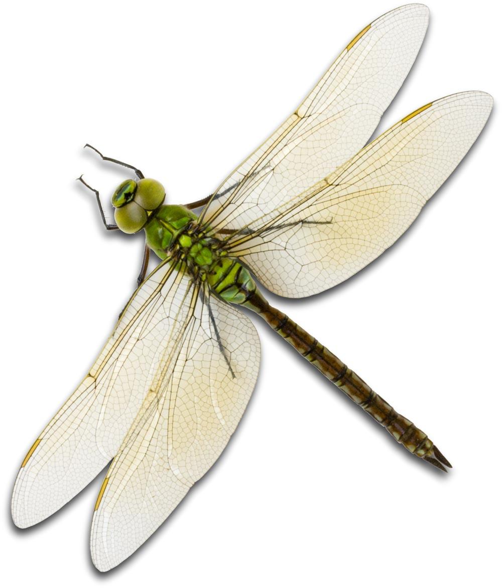 Aeshnidae IMG_2349 copy